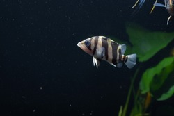 SIAMESE TIGER FISH