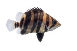 Siamese Tiger fish isolated on white background