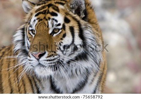 Siberian (Amur) tiger. Portrait by the closeup