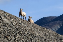 Siberian bighorn sheep (Ovis nivicola). Female and male snow sheep walk along the rocky slope of the mountain. Wild animals in their natural habitat. Wildlife of Siberia. Chukotka, Far East Russia.