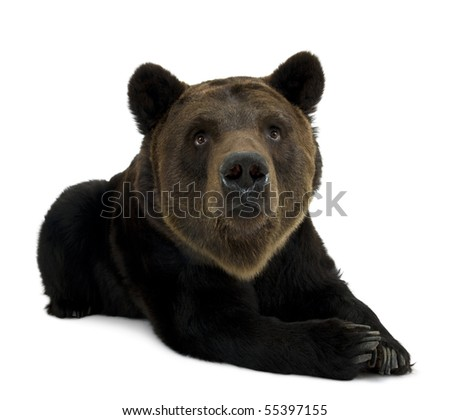 Siberian Brown Bear, 12 years old, lying against white background