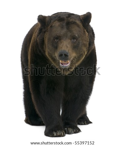 Siberian Brown Bear, 12 years old, walking against white background