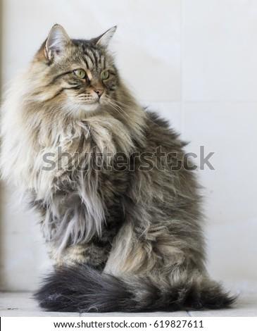 siberian brown cat  brown tabby ...