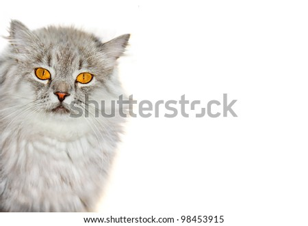 Siberian cat - stock photo