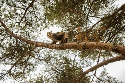 Siberian cat climbing a pine tree