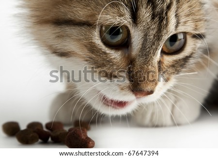 Siberian cat eating