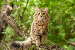 siberian cat kittens in wood. Outdoor
