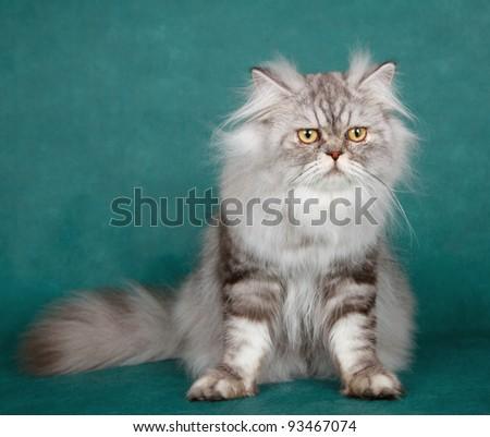 Siberian cat on green background - stock photo
