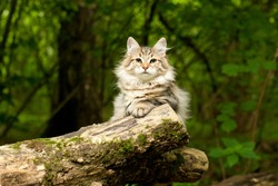 Siberian cat on the tree. Outdoor