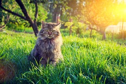 Siberian cat sitting in the garden on the grass at sunset