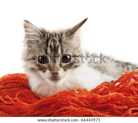 Siberian cat sitting in woolen yarns