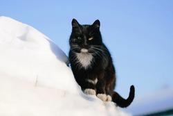Siberian cat walking in snow