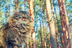 Siberian cat walking in the pine forest