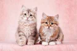Siberian cats and kittens on beautiful neutral background perfect for postcards