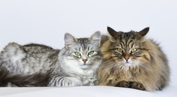 Siberian cats on the sofa, silver female and brown tabby male