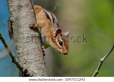Siberian chipmunk (Latin Tamias sibiricus). The chipmunks include 25 species, most of which live in North America, except for one Eurasian species - the Siberian chipmunk. Blurred focus