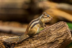 Siberian chipmunk or Common chipmunk (Eutamias sibiricus) in The Netherlands in the summer