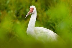 Siberian crane, Leucogeranus leucogeranus, also known as the Siberian white snow crane, rare bird from Russia. Detail close-up portrait of white bird with red face. Crane in the nature forest habitat.
