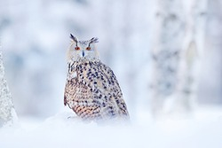 Siberian Eagle Owl, Bubo bubo sibiricus, sitting in the birch tree with snow in the forest. Winter scene with Big Eastern owl in the nature taiga habitat, Russia wildlife.
