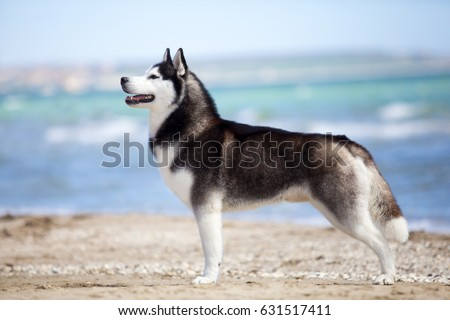 Siberian Huskies on a beach