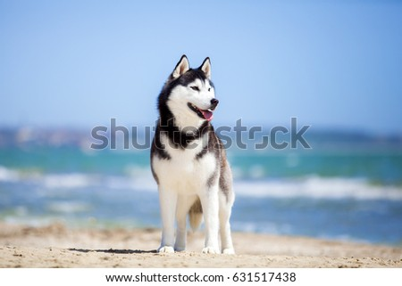 siberian huskies on a beach
