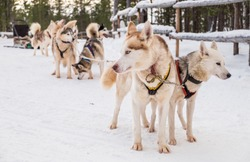 Siberian huskies spending time outdoor during winter in Murmansk Russia