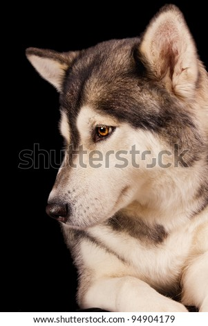 Siberian husky against black background