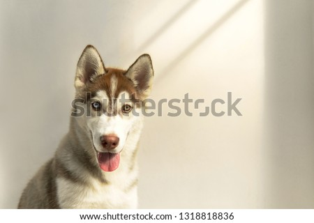 Siberian husky against to a white wall with golden sun in the morning. #1318818836