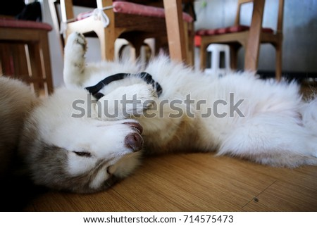 Siberian Husky,Big brown dog sleeping Comfortably in their home.