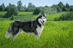 Siberian Husky black and white colour outdoors. Dog walks in the field. Summertime. A pedigreed purebred dog
