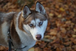 siberian husky brown and white colors with blue eyes on leash walking in park, dog portrit, fluffy dog, close up siberian husky face, outdoor in autumn colors, siberian husky dogbreed. beautiful dog.