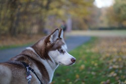 siberian husky brown and white colors with blue eyes on leash walking in park, dog portrit, fluffy dog, beside siberian husky face, outdoor in autumn colors, siberian husky dogbreed. beautiful dog.