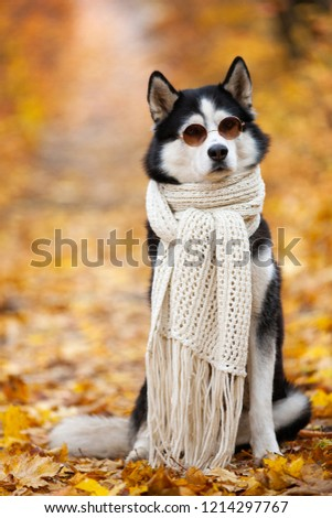Siberian Husky by John Lennon. Reincarnation of John Lennon. Siberian Husky in the fall sits in sunglasses and a scarf in yellow leaves.