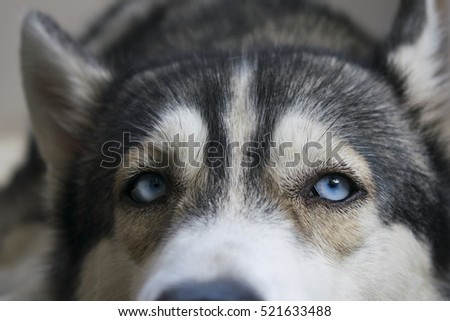 Siberian Husky Close Up On Face Focus At Blue Eye In Black