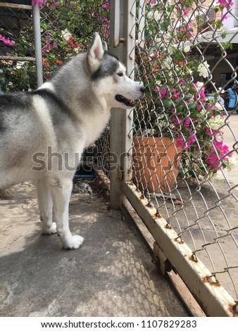 Siberian husky dog - Shutterstock ID 1107829283