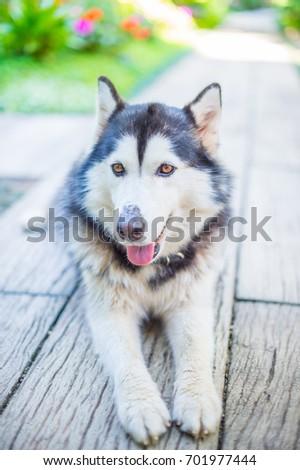 Siberian Husky dog #701977444