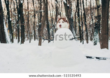 siberian husky dog as a snowman. New Year winter concept