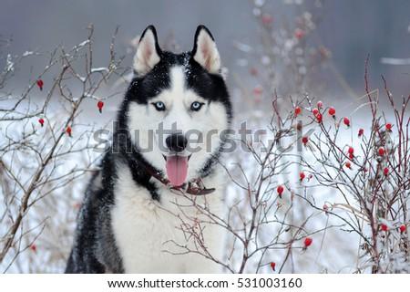 siberian husky dog black and...