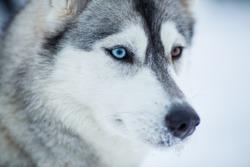 Siberian husky dog closeup portrait