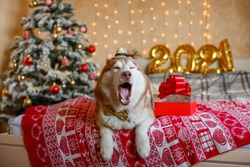 Siberian Husky dog lies on the bed near the Christmas tree , figures 2021 New year