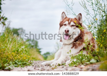 siberian husky dog lying down