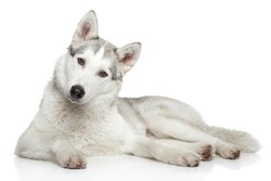 Siberian Husky dog lying on a white background