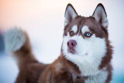 Siberian husky dog portrait