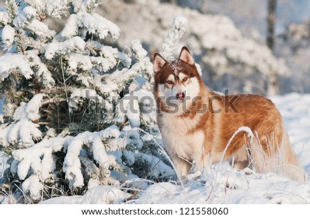 siberian husky dog winter portrait #121558060