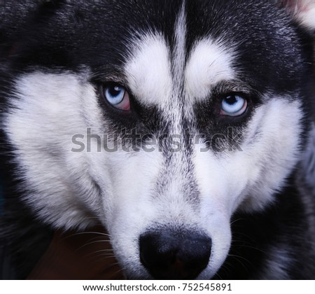 Siberian Husky Dog With Blue Eyes Close Up Ez Canvas
