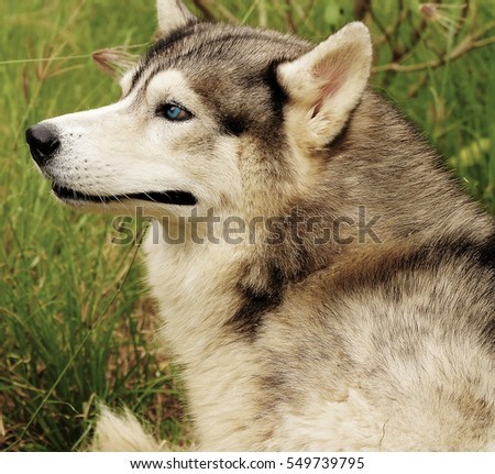 siberian husky dog with blue eyes stands and looks ahead bright green trees and grass #549739795