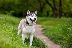 Siberian husky dog with blue eyes stands and looks ahead. Bright green trees and grass are on the background.