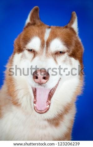 siberian husky dog yawning
