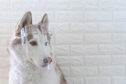 Siberian husky dogs wear face shield to protect against the Covid-19 virus.