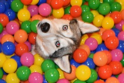 Siberian Husky in a ball pit